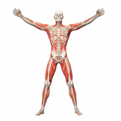 kroppens anatomiske regioner