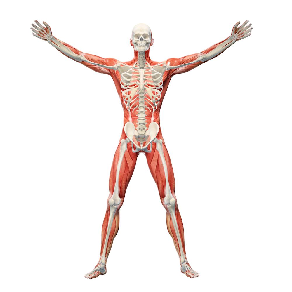 læren om muskler
